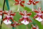 oncidium-sharry-baby
